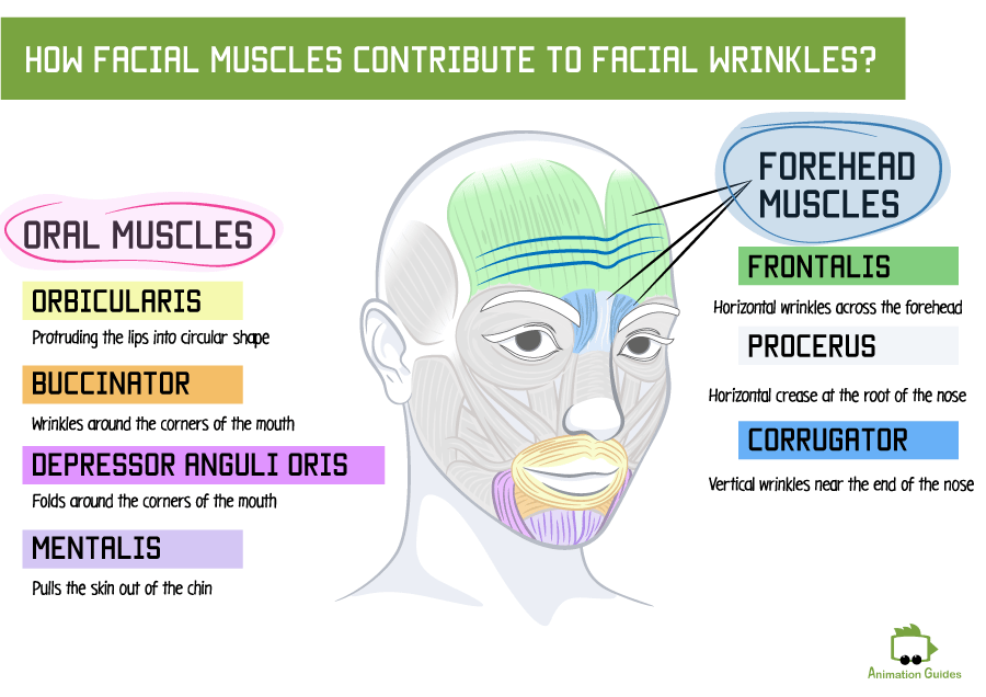 facial wrinkles and facial muscles